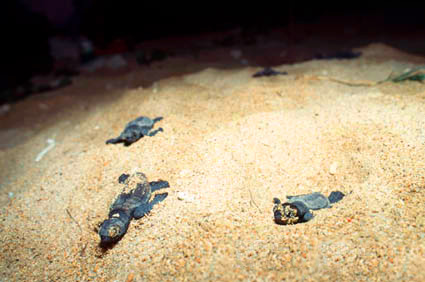 Hatching of Tortoise