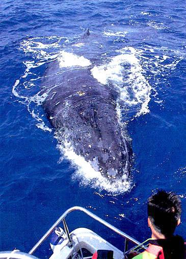 Humpback Whales at Kerama islands