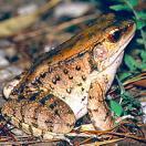 Dagger frog