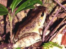 Holst's frog