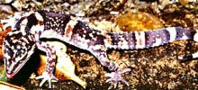 Oriental Grounded Gecko